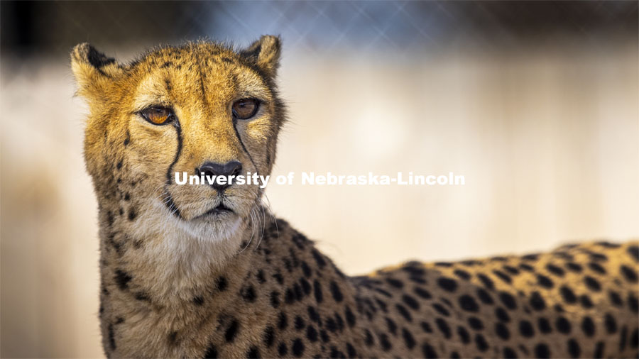 Bella, a 10-year-old female cheetah watches her watchers. Husker researchers are using new video tracking technology to monitor and improve the well-being of the Lincoln Children's Zoo's four female cheetahs. The camera system and machine learning track the animal movements including the cheetahs at the Lincoln Zoo. December 18, 2020. Photo by Craig Chandler / University Communication.
