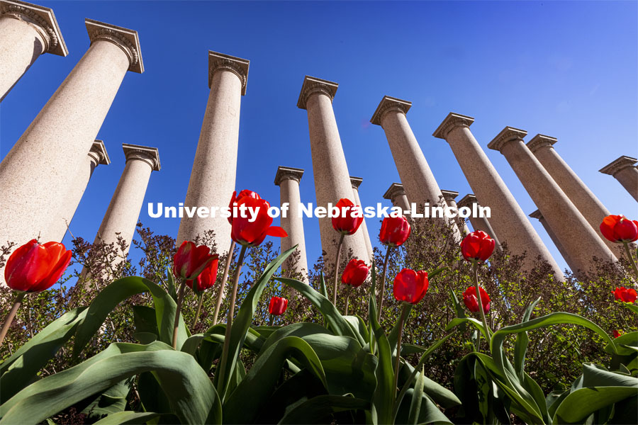 Tulips bloom in front of The Columns by Memorial Stadium. Spring on City Campus. April 12, 2021. Photo by Craig Chandler / University Communication.