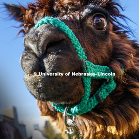An alpaca was outside the Visitors Center Wednesday. It was brought to campus as part of a theater department costume class where students had to design costumes using textures and colors of various animals. November 15, 2017. Photo by Craig Chandler /