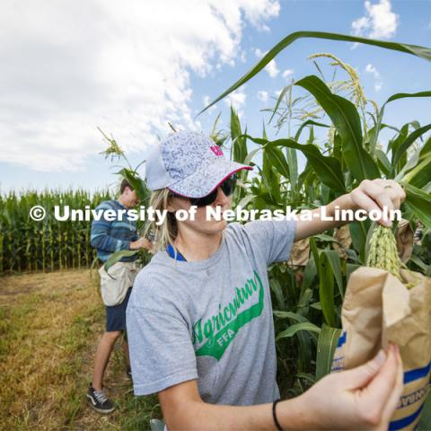 Leandra Parsons, PhD student from Oakley, KS, bags the tassels of the popcorn hybrid she is researching. David Holding, Associate Professor of Agronomy and Horticulture, and his team is pollenating popcorn hybrids at their East Campus field. July 17, 2019. Photo by Craig Chandler / University Communication.
