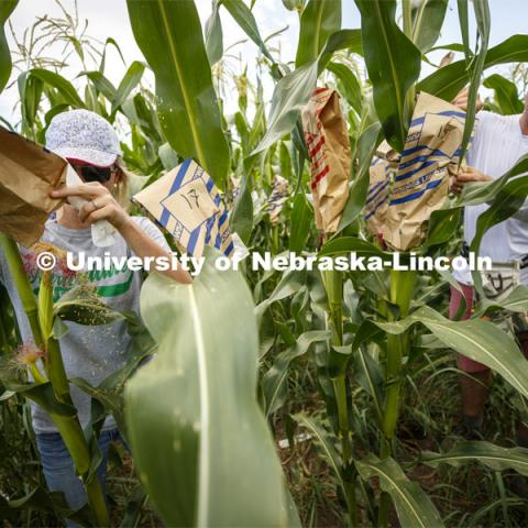 Leandra Parsons, PhD student from Oakley, KS, and David Holding, Associate Professor of Agronomy and Horticulture, bags the tassels of the popcorn hybrid they are researching at their East Campus field. July 17, 2019. Photo by Craig Chandler / University Communication.