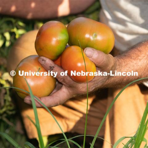 Tomatoes are ripe for the picking. Lincoln families work their garden area at Prairie Pines in east Lincoln. July 27, 2020. Photo by Gregory Nathan / University Communication.