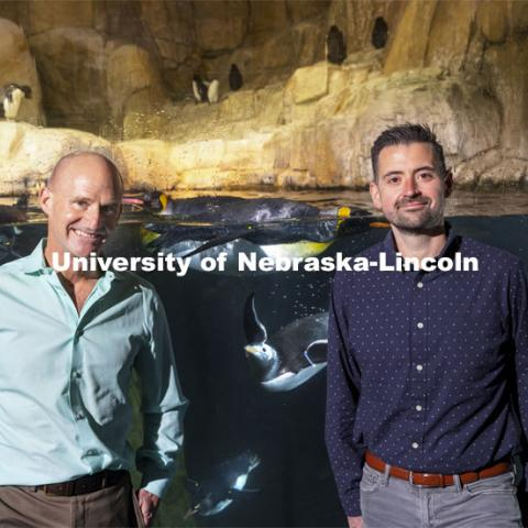 Jay Storz (left), Willa Cather Professor of biological sciences, and postdoctoral researcher Anthony Signore are publishing a paper about Emperor Penguins diving abilities. The two are shown with penguins at Henry Doorly Zoo in Omaha. Storz, Signore and their colleagues resurrected two ancient versions of hemoglobin, demonstrating how the blood of penguins evolved to help them better hold their breath while hunting for seafood. March 17, 2021. Photo by Craig Chandler / University Communication.