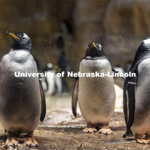 Pictured; gentoo penguins on rocks. Jay Storz and post-doc Anthony Signore are publishing a paper about Emperor Penguins diving abilities. The two are shown with penguins at Henry Doorly Zoo in Omaha. March 17, 2021. Photo by Craig Chandler / University Communication.