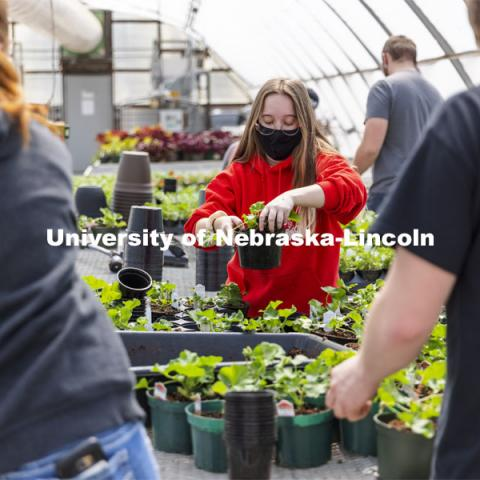 Jamie Dasenbrock repots a geranium during a club work session. Members of the horticulture club prepare plants in the greenhouses on east campus. The plants will be sold at their annual spring sale. April 1, 2021. Photo by Craig Chandler / University Communication.