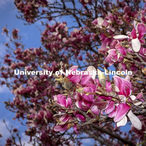 Saucer Magnolia trees bloom outside of the Lied Center. Spring on City Campus. April 6, 2021. Photo by Craig Chandler / University Communication.