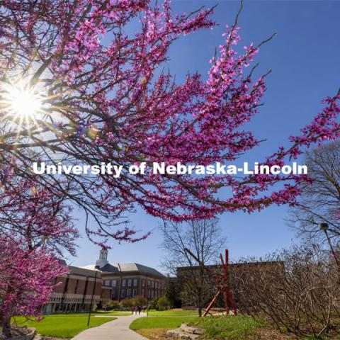 Redbud trees bloom near Love Library. Spring on City Campus. April 12, 2021. Photo by Craig Chandler / University Communication.