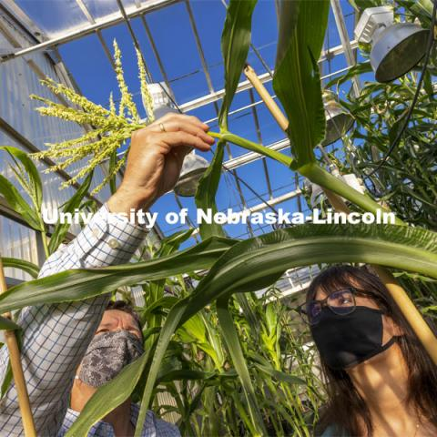 Nebraska's Cleo Babor, a sophomore plant biology major and new McNair Scholar, and David Holding, associate professor of agronomy and horticulture, pollinate corn hybrids in the Beadle Center greenhouse. The hybrids represent several new breeding programs involving crosses between varieties to develop a multi-colored sweet corn, a variant that features high lysine, and multi-colored, quality-protein popcorn. April 13, 2021. Photo by Craig Chandler / University Communication.